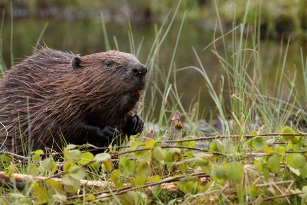 About Beavers