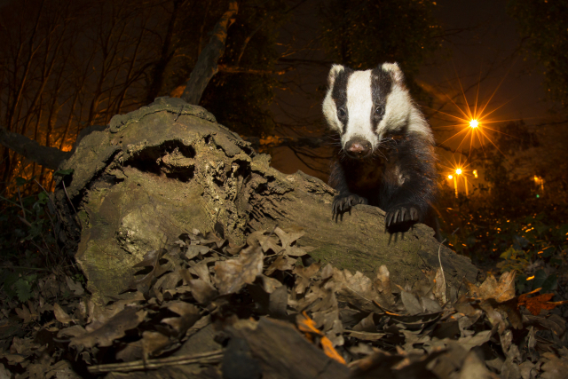 Badgers in the UK