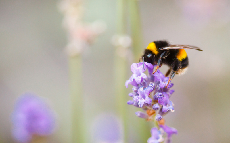 UK Bee Species