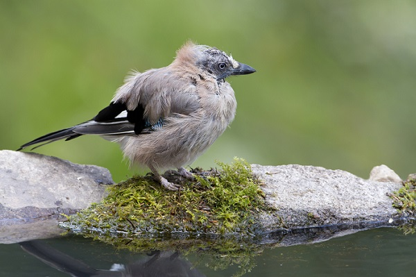 Garden Birds And Their Moulting Cycles Explained
