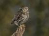 UK Little Owl