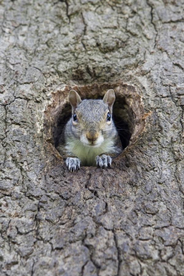 Squirrel Nests - Drey