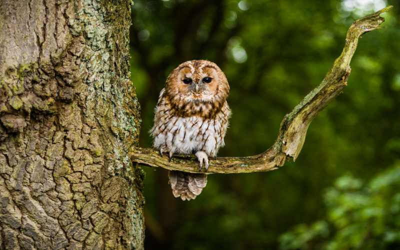 UK Owl Species