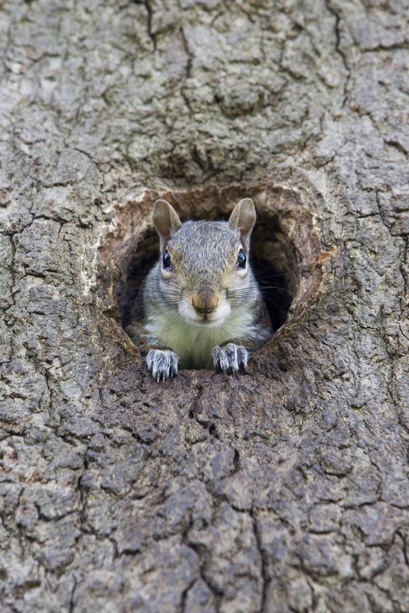 Squirrel Nests - Drey