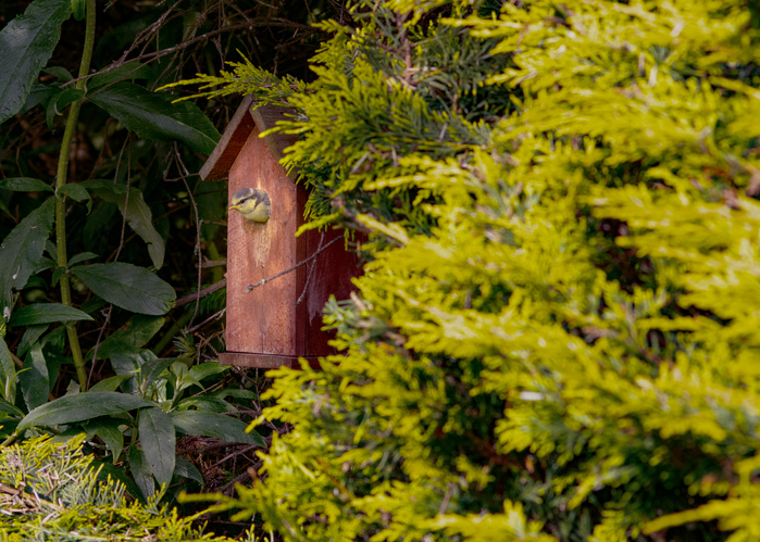 Bluetit Camera out of Bird Box