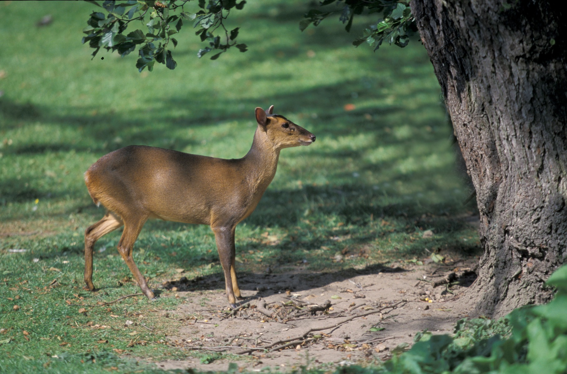 Muntjac Deer Wild