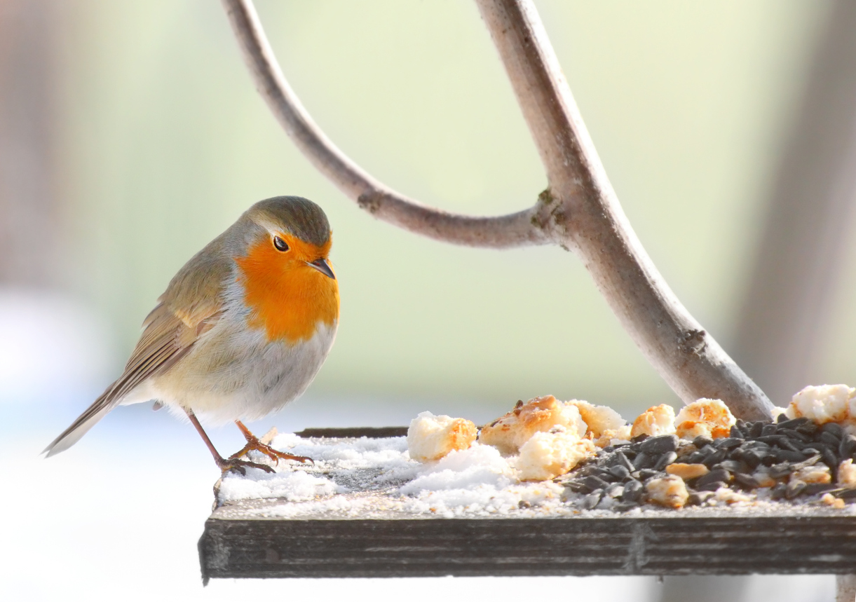 Robin Feeding Cold Table